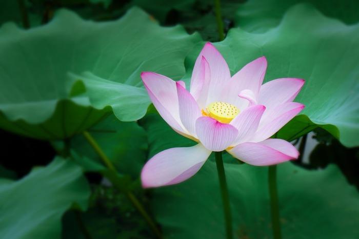 lotus-1127013_960_720.jpg